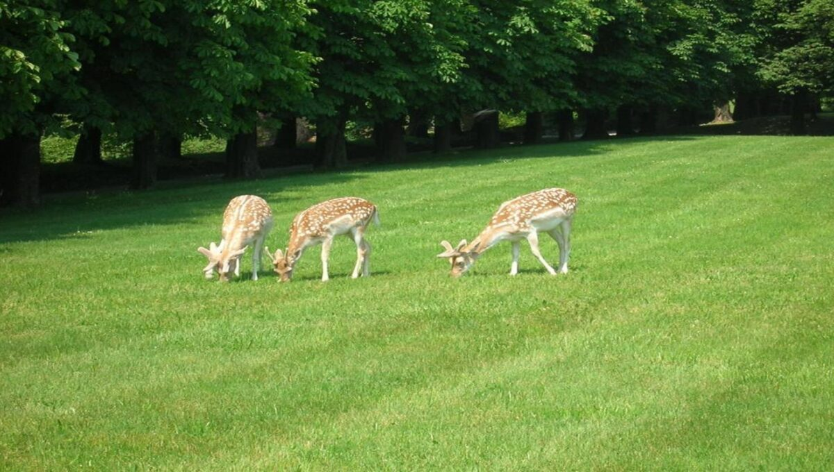 fallow deer that roam freely in the property